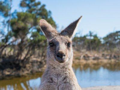 rondreis kangoeroe island